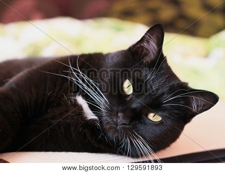 Portrait of a black cat with a white whiskers and eyebrows