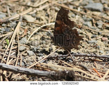 Green Comma Butterfly on the Ground showing Underside
