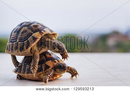 Two Turtles That Mate