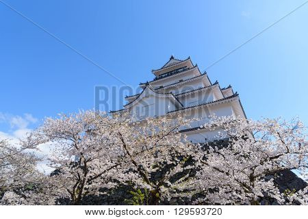 Tsuruga Castle surrounded by hundreds of sakura trees