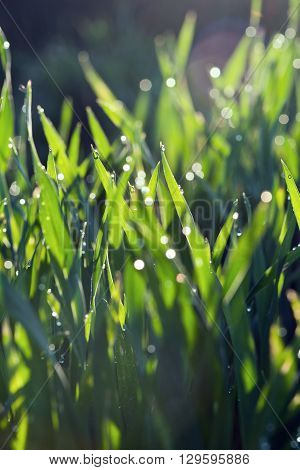 Water drops and grass in the morning sunlight (background backlight)