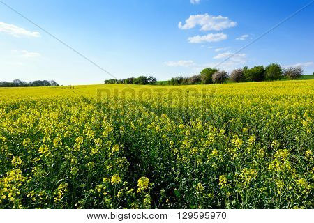 The landscape with field of rapeseed in spring