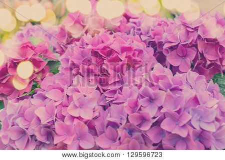 Violet fresh hortensia flowers with green leaves close up, retro toned