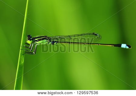 Dragonfly in the grass with green background