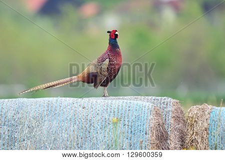 Photo of wild pheasant standing on a bale of hay