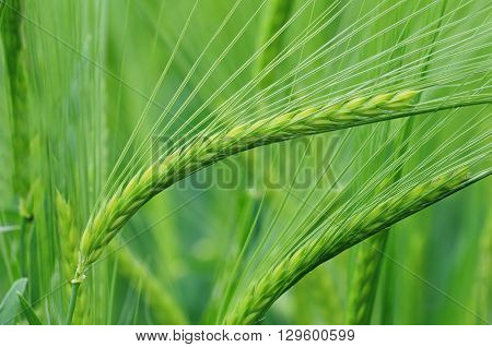 Close up photo of barley growing in a field