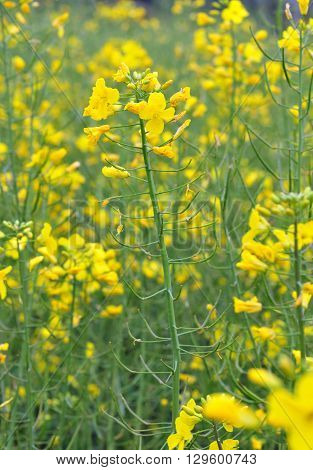 Photo of yellow flower of rapeseed plant