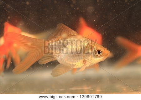 Young Small Goldfish