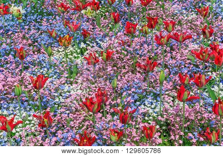 Red tulips with forget-me-nots in various colours blooming at the flower garden in Greenwich park of London UK
