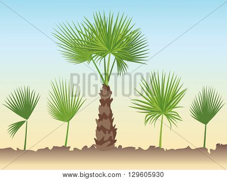 Set of fan palm round leaves. Fan Palm Tree formed from these leaves.
