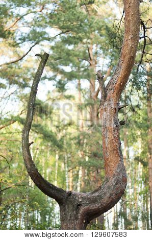 unusual tree in the forest in the form of a slingshot