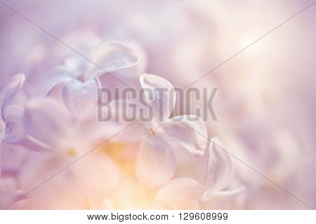 Blurred background with flowers of a lilac close up