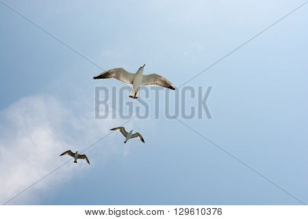 Seagulls flying in blue sky and white clouds
