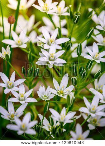 White flowers of Ornithogalum umbellatum (Star-of-Bethlehem) and tender buds