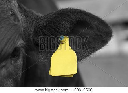 Young cattle with a yellow plastic mark.