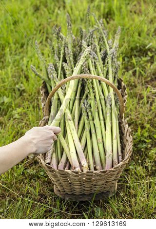 Placing a healthy asparagus in the basket.