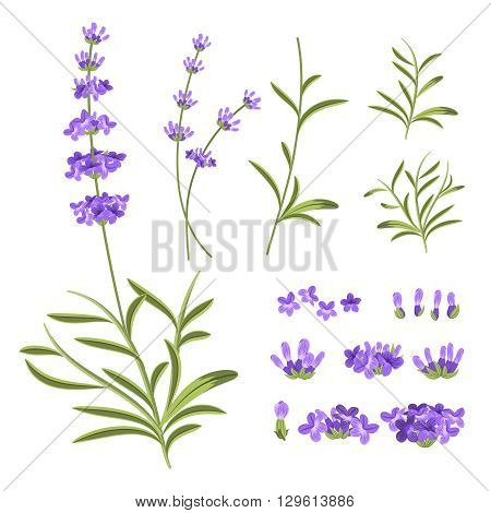 Lavender flowers vector elements. Illustration constructor for greeting cards and invitations. Flower lavender, nature lavender floral, plant purple lavender, blossom lavender violet