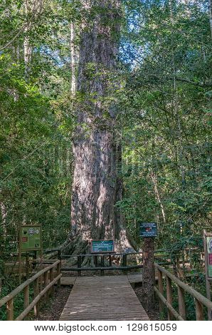 KNYSNA SOUTH AFRICA - MARCH 5 2016: The King Edward VII big tree a 1000 year old yellowwood tree in the Knysna Forest near Diepwalle