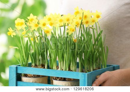 Woman holding crate with narcissus, closeup