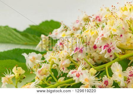 Wild Chestnut Flowers In Bloom