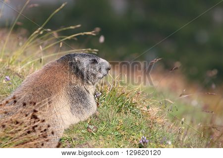 Alpine Marmot at the Swiss Alps. Europe