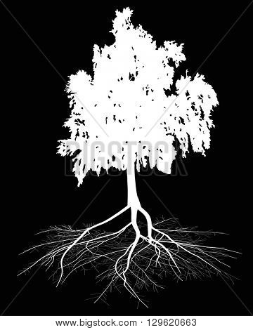 illustration with white birch and root isolated on black background