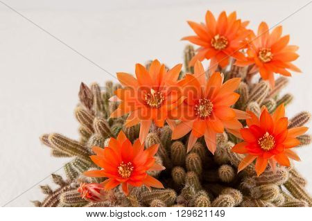 Orange Cactus Flower On A White Background