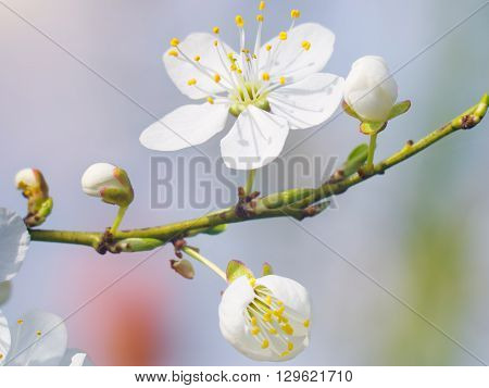 Spring white bud flower. Composition of nature.