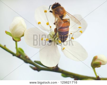 Honeybee harvesting pollen from white blooming flowers.