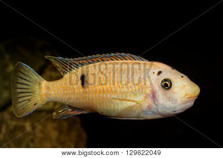 Portrait of colored aquarium fish in the aquarium
