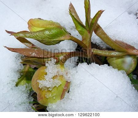 Flower buds Helleborus Caucasicus under snow In early spring directly out of the snow flower buds Helleborus Caucasicus appear.