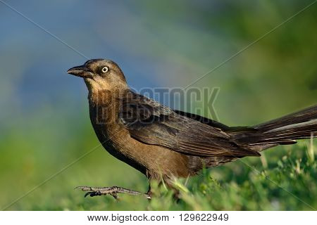 great-tailed grackle or Mexican grackle (Quiscalus mexicanus)