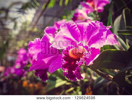 Beautiful Pink Orchid, Phalaenopsis. Selective Focus, Toned