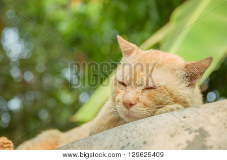 Yellow cat sleeping on the blister easily