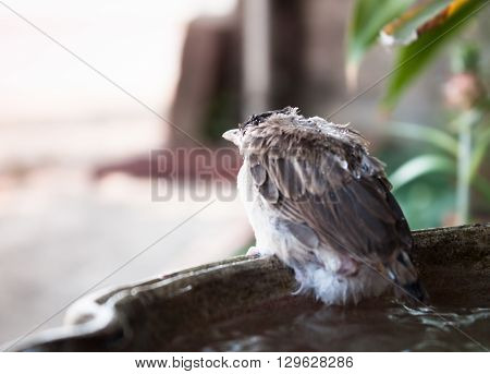Close up of a young sparrow at fountain, stock photo