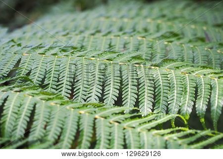 Tree Fern fronds, in closeup, showing the repeating patterns in the leaf formation.