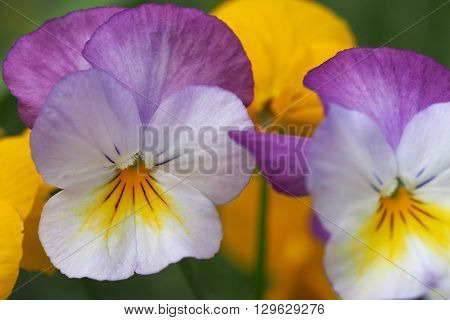 White, mauve and yellow Viola flowers in closeup.