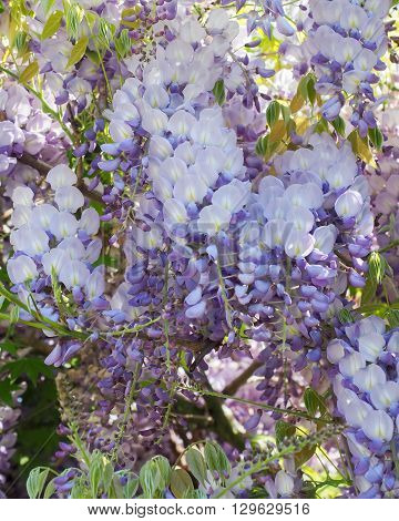 Mauve and purple Wisteria flowers in closeup.