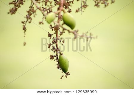 Bouquet Of Mango Flower And Green Mango Fruit Is Growing On A Tree