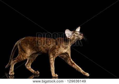 Brown Oriental Cat with Big Ears Walking and Looking up Black Isolated Background