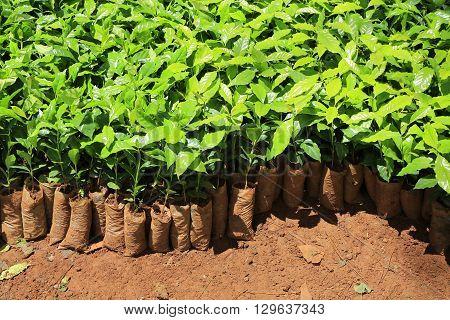 Coffee nursery for planting in Dalat, Vietnam