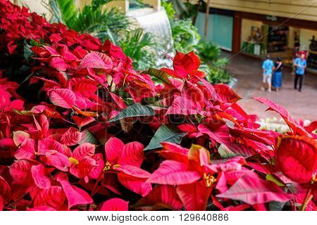 Honolulu, Hawaii, USA - Dec 15, 2015: Red Poinsettia plants on verandah of the Hyatt Regency Waikiki Beach Resort and Spa Hotel, giving the frame a Sea of Red appearance. This overlooks the atrium public area of the hotel complex.