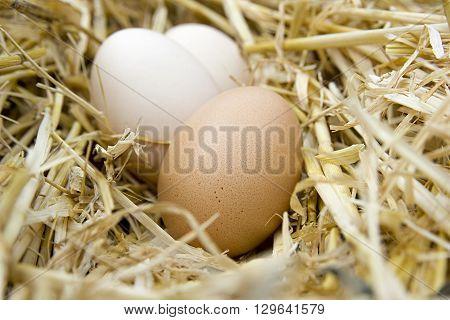 chicken fresh eggs on the dryhay closeup