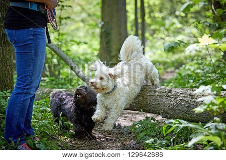 Havanese Dog Jumping Over A Trunk