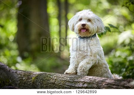 White Havanese Dog Posing On A Tree Trunk