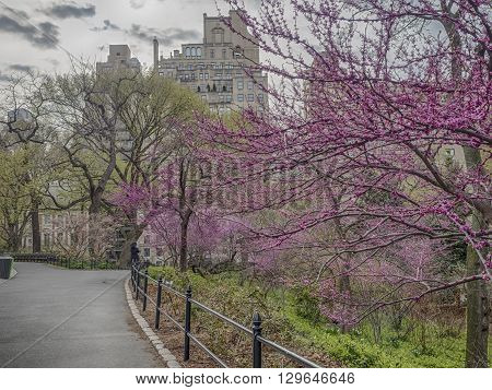 Central Park New York City with ercis canadensis eastern redbud in bloom