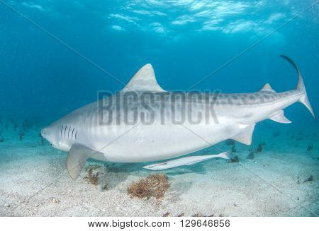 Picture shows a Tiger shark at the Bahamas