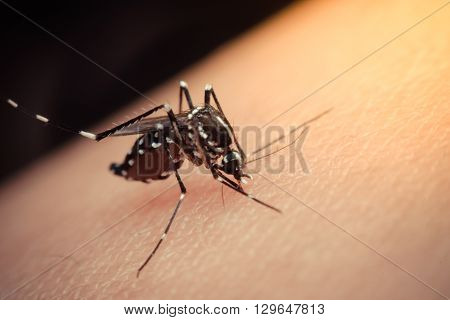 Macro of mosquito sucking blood close up on the human skin. Mosquito is carrier of Malaria Encephalitis Dengue and Zika virus process in vintage style