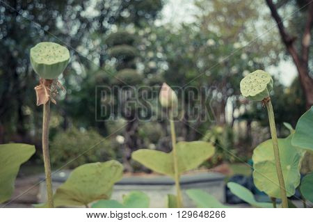 Lotus waterlily flower seed green color Naturally beautiful plant in the garden process in vintage style