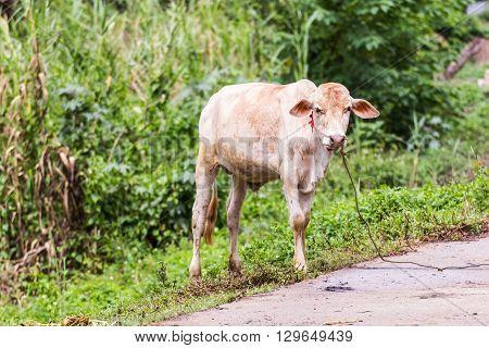 Young cow , Thai calf , mammal